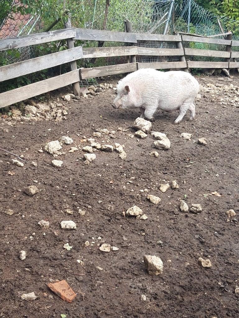 Hausschwein an der Burgruine